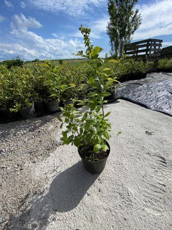 Голубика (лохина) 2-3 х летние кусты