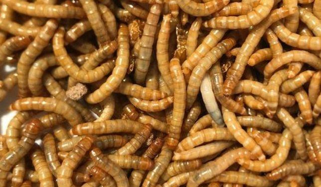 Мучной червь корм для птахів та рептилій/ мучний хрущак