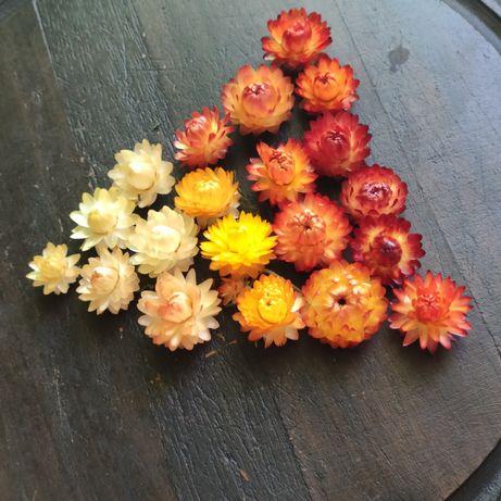 Сухоцветы. Гелихризум.