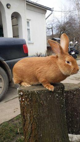 продам кролі  Бургунці