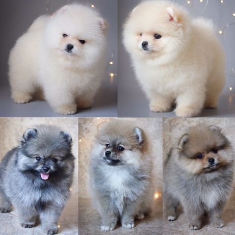 Красивые щенки помераского шпица Питомник Vikarpom