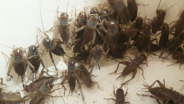 Świerszcze owady karmowe