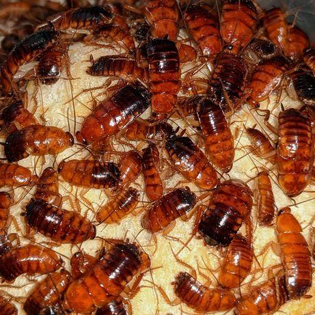Karaczany tureckie 50szt. - owady karmowe