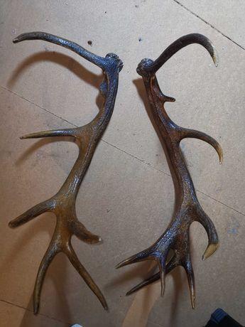 Poroże jelenia duże, bardzo ładne. Brak uszkodzeń. Stan idealny.