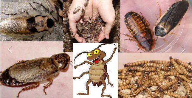 корм для стрижа птиц кормовые насекомые тараканы сверчки кузнечики