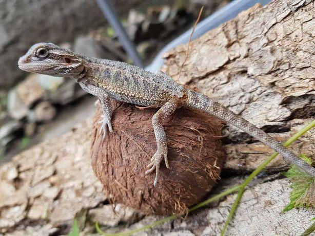 Бородатая агама, малыши агамы, рептилии