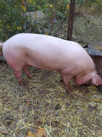 Продам на потомство чистопородного мясного хряка.