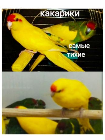 Тихоня какарик птенцы ростут до 23см