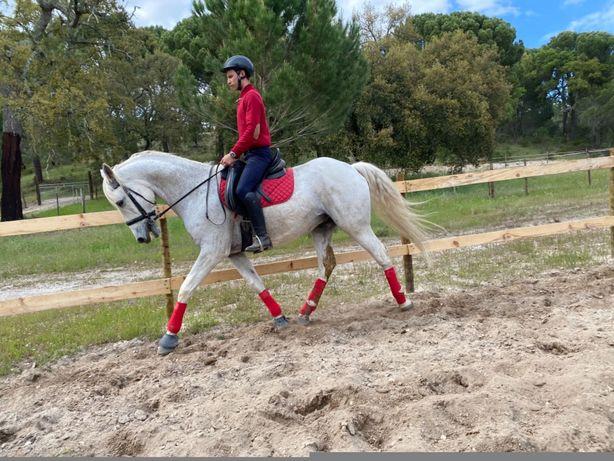 Cavalo russo castrado