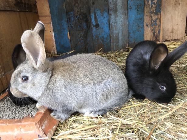 Молодняк кроликів