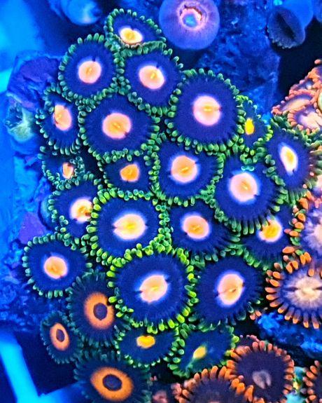Zoanthus Zoa akwarium morskie akwarystyka morska