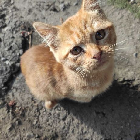 Ласковый рыжий котёнок ищет любящего хозяина