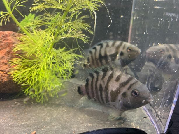 Pielęgnica Zebra Amatitlania nigrofasciata 2 - 2,5 cm