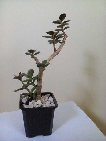 Толстянка Бонсай, денежное дерево в Стиле Бонсай