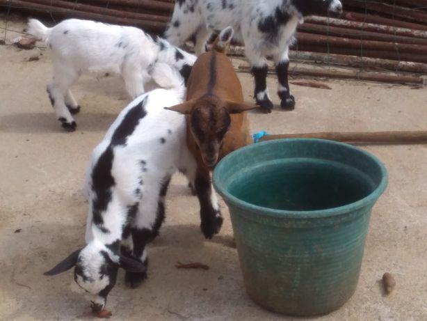 Vendo cabrinhas anãs