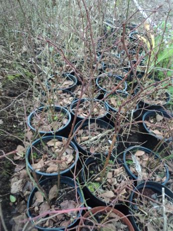 Plantas de mirtilo-Variedade Aurora