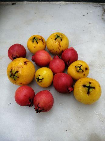 Arvore do araça a dar fruto