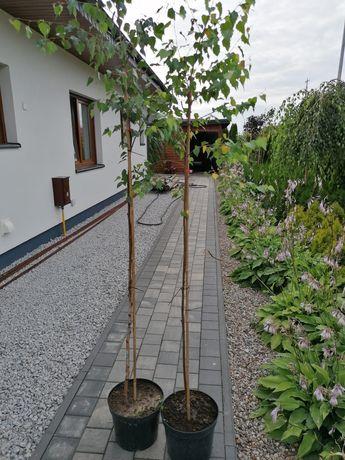 Sprzedam drzewa brzozy 110 sztuk