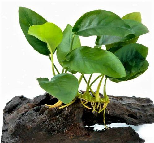 Anubias nana petite rośliny akwariowe