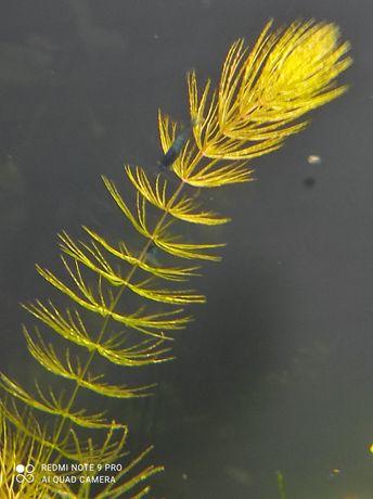 Rogatek roślina do akwarium rośliny