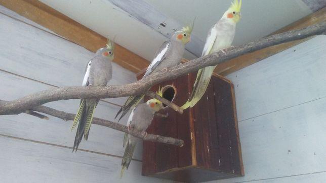 Papugi Faliste , Nimfy