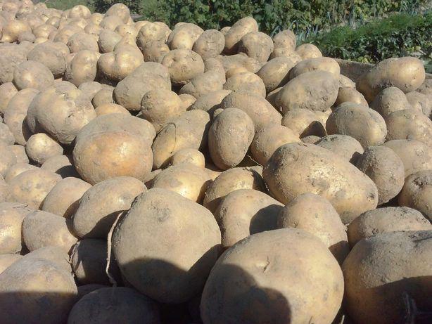 Ziemniaki paszowe oraz wielkość sadzeniaka Queen Anne  !
