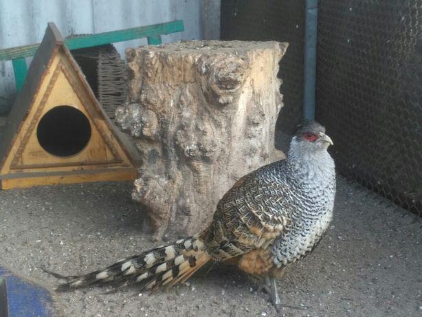 Чир фазан(пара)