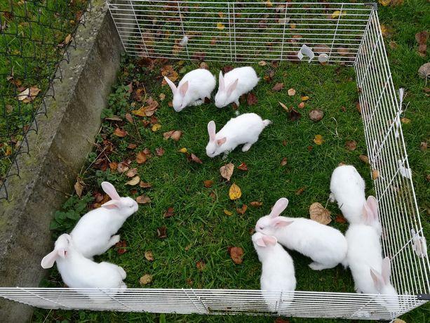 Sprzedam króliki termondzkie i inne