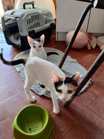 gatinhas de 2 e 3  meses p/adoção, desparasitadas.