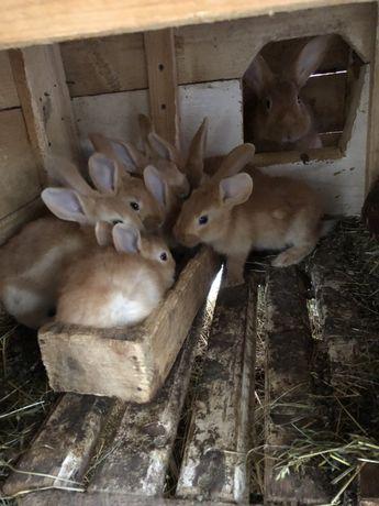 Продам кроликів. Продаються кролики. Продаж кролів. Зайці