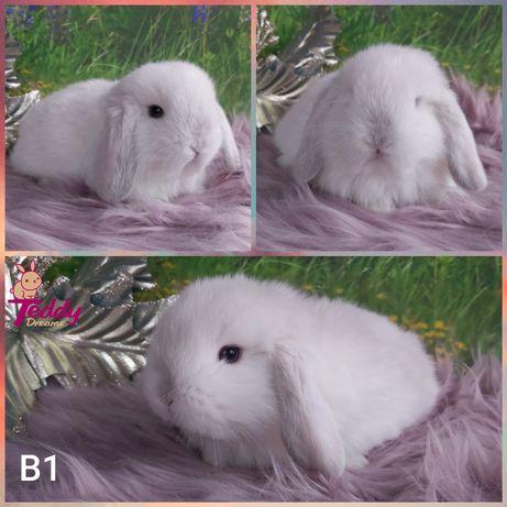 Królik króliczki Karzełek Mini Lop. Samczyk B1