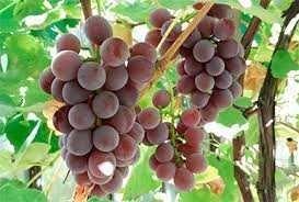 Виноград  свежий спелый Лидия отборный