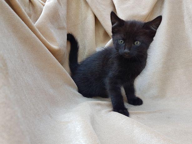 Котёнок чёрный девочка