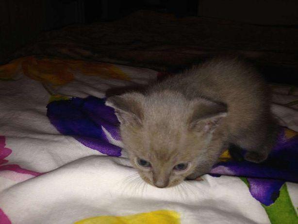 Шоколадные бурманские (бурма) котята