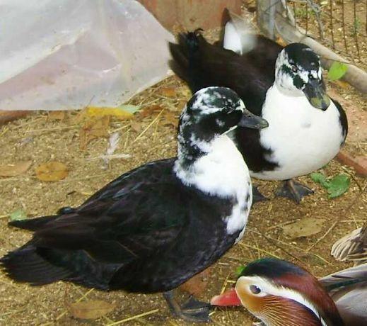 Kaczki  ozdobne   CALL  DUCK - kanadyjki  para  - czarny  szek