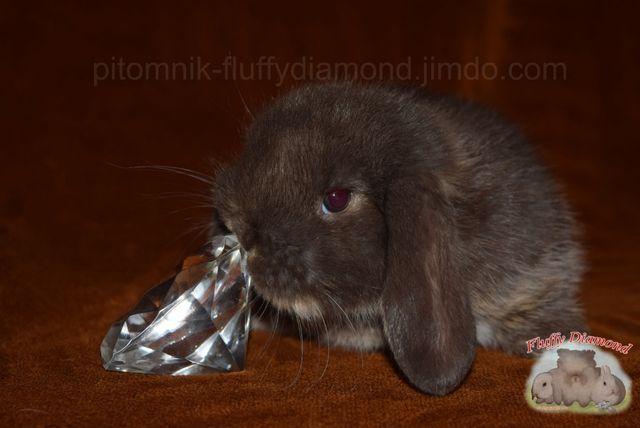 Вислоухий кролик ( карликовый ) Крольчонок гавана оттер и белоостевой