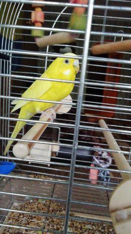 Продам хвилястого папугу разом з кліткою!