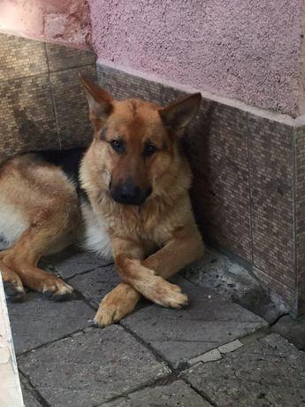 Молодой красавец пес (немецкая овчарка)ищет себе пару !! Вязка.