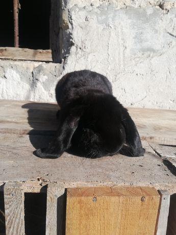 Baran francuski czarny samiec