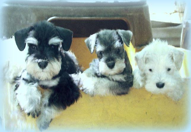 Цвергшнауцер, красивые, породные щенки приличного происхождения!