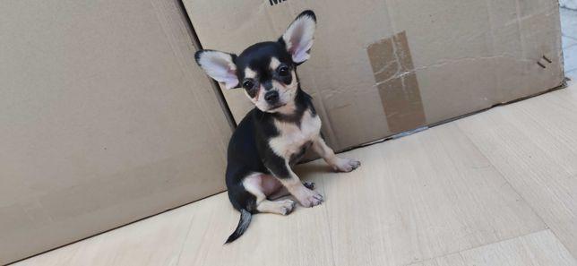 Chihuahua miniatura de pelo curto criado em ambiente familiar