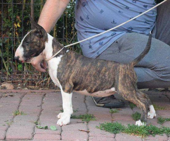 Bulterier - suczka, szczeniak z rodowodem ZkwP (FCI)