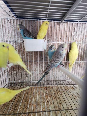 Periquitos e canarios