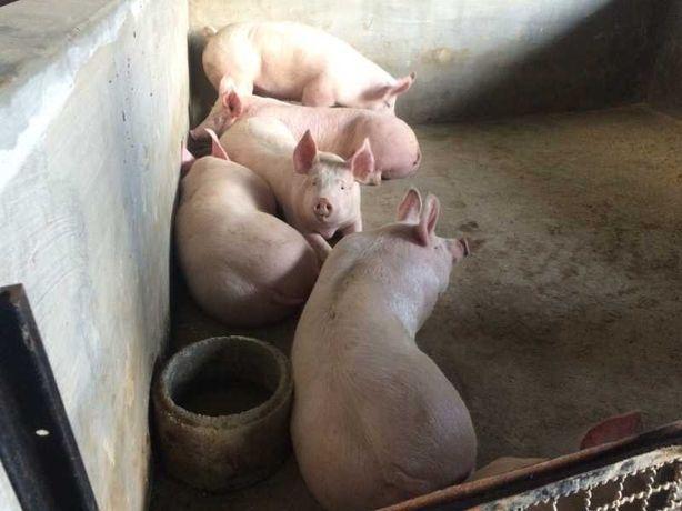 Porcos com cerca de 115 kg