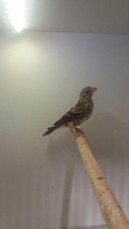 Szary spiewak samica
