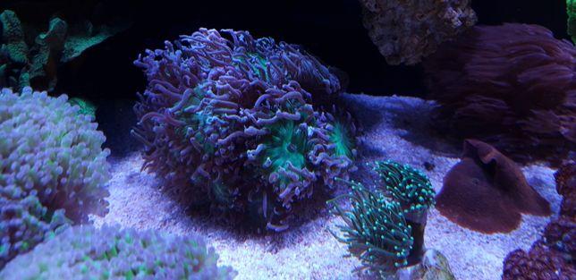 Akwarium morskie koralowce korale