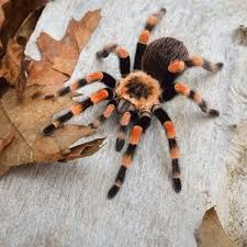 подарок на день рождения - бокс набор паук птицеед павук тарантул+уход