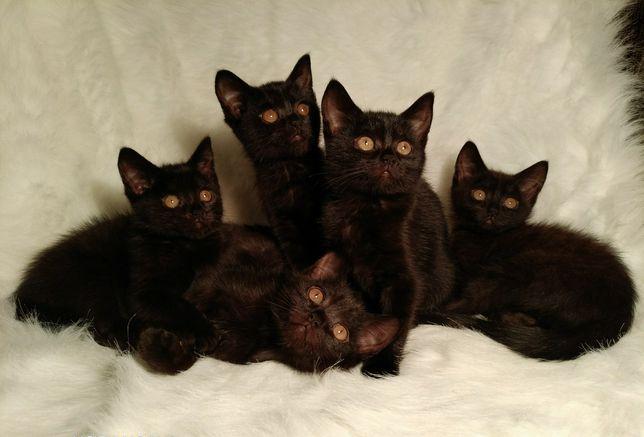 Милахи британские плюшевые котята 3 мес.