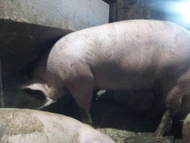 Продаю свиней мясної породи . Петрен + Макстер
