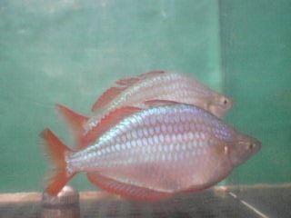 Продаю рыбок, меланотения неоновая